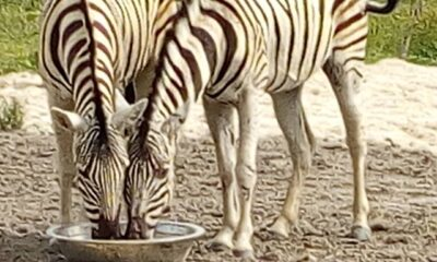 Omu Resort Takes Delivery Of First Zebra In Lagos